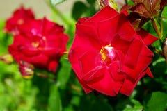 Red garden roses. Stock Photo