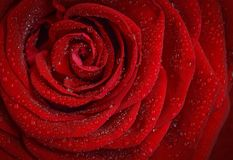 Red, Garden Roses, Rose, Flower Royalty Free Stock Photos