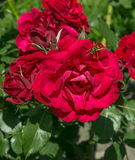Red garden roses with a wasp Royalty Free Stock Images