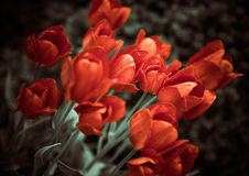 Red garden tulips Stock Image