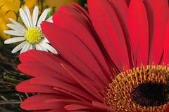 Red gardenia and daisy. Red gardenia and white daisy Royalty Free Stock Photo