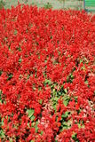 Red gardens flowers. Field of red flowers in the summer stock photo