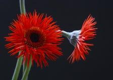 Red gazania daisy stock photo