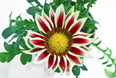 Red gazania flower stock images