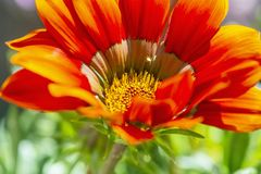 Red Gazania flower, seasonal natural scene royalty free stock photography