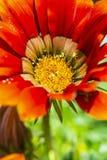 Red Gazania flower, seasonal natural scene. Macro photo of red Gazania flower. Seasonal natural scene. Gardening theme. Vertical composition stock photo