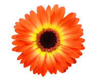 Red geber daisy. An isolated red geber daisy on white stock image