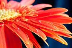 Red gebera flower close up Royalty Free Stock Photo