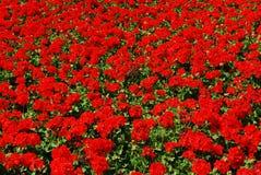 Red geranium. Flowerbed full of red geranium flowers Stock Photography