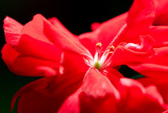 Red geranium. Close-up of a red geranium on black background stock photography