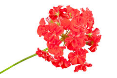 Red geranium. Isolated on a white background Stock Photos