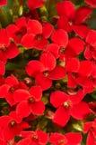 Red geranium. Bright background of red geranium Stock Images