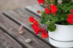 Red Geranium. A red Geranium and a white pot found on a abandoned beach Stock Images