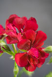 Red geranium. Isolated on gray background Royalty Free Stock Image