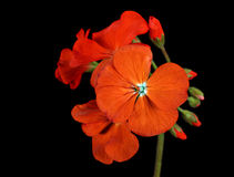 Red Geranium. Flower isolated on a black background Royalty Free Stock Image