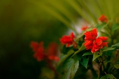 Red Geranium in an automn day stock photography