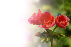 Red Geranium background Royalty Free Stock Image