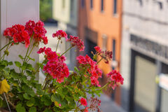 Red geranium in bloom on a urban scene. Red geranium detail on a cityscape as a urban plant flower Royalty Free Stock Photos