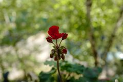 Red geranium blooms. On the balcony Royalty Free Stock Photography