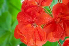 Red geranium blooms with water drops stock images