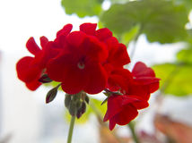 Red geranium. Blossoming red geranium flowers in garden. Close-up Royalty Free Stock Images