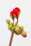 Red Geranium Buds Royalty Free Stock Photo