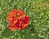 Red geranium bunch closeup Stock Image