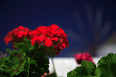 Red geranium close up Stock Image