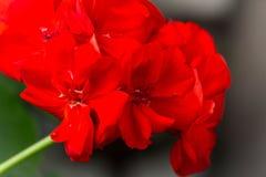 Red geranium close-up. A blossoming flower. Natural background. stock photos