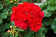 Red geranium. Closeup on green royalty free stock photo