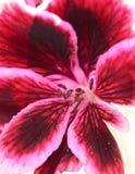 Red geranium flower. Macro of red geranium flower Stock Photos