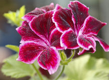 Red geranium flower Royalty Free Stock Photo