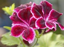 Red geranium flower. Macro of red geranium flower Royalty Free Stock Photo