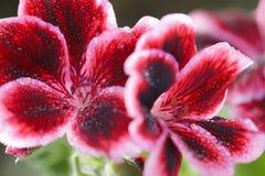 Red geranium flower. Macro shot of red geranium flower royalty free stock photos
