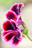 Red geranium flower Stock Images