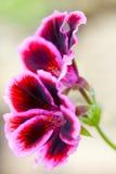 Red geranium flower. Macro of red geranium flower Stock Images