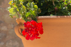 Red Geranium flower. In Agia Irini Monastery, Crete, Greece. Geranium is a genus of 422 species of flowering annual, biennial, and perennial plants that are royalty free stock photos