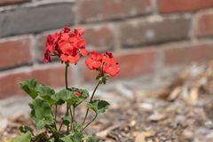Red Geranium in Mulched Flower Bed stock photos