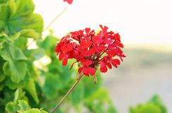 Red geranium flower - blooming spring flowers royalty free stock photography