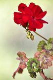 Red geranium flower blooms macro on green background. Red geraniums in a summer garden royalty free stock image