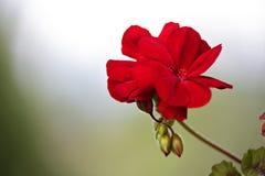 Red geranium flower blooms macro on green background. Red geraniums in a summer garden stock photos