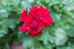 Red geranium flower Royalty Free Stock Photo