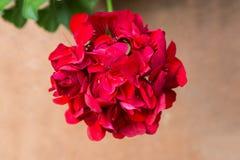 Red geranium flower Stock Image