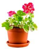 Red Geranium flower, close up. Red Geranium flower in a brown flower pot, close up, white background stock photo