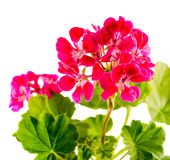 Red Geranium flower, close up Stock Image
