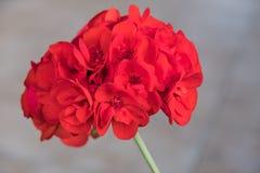 Red Geranium flower. Closeup Pelargonium zonale Stock Photo