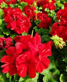 Red geranium flower. S in a greenhouse royalty free stock photos