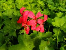 Red geranium flower. S in a greenhouse royalty free stock photography