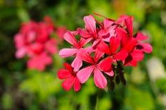 Red geranium flower Stock Photography