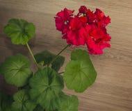 Red Geranium flower Stock Images